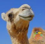 Катание на верблюде по воскресеньям!