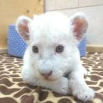 Конкурс на имя для белого львенка