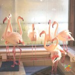 Перемещение фламинго в теплые помещения