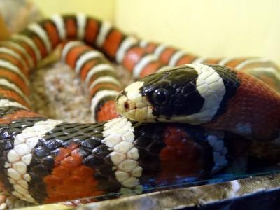 Аризонская горная королевская змея