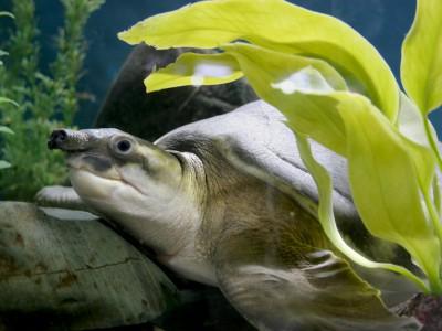 Черепаха двухкоготная
