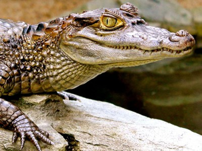 Кайман крокодиловый
