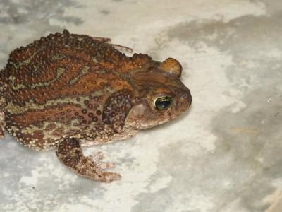 Карибская жаба