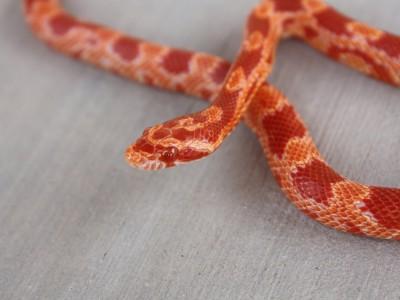 Полоз маисовый, или пятнистый лазающий полоз, или красная крысиная змея
