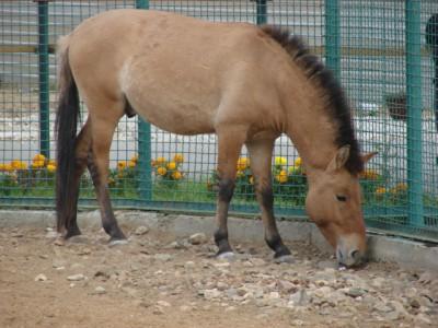 http://yar-zoo.ru/media/zoo/images/Przevalsky_s_horse_27c90b7aedc65db82f8ce81c0122651c.JPG
