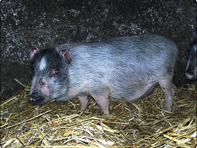 Свинья вьетнамская