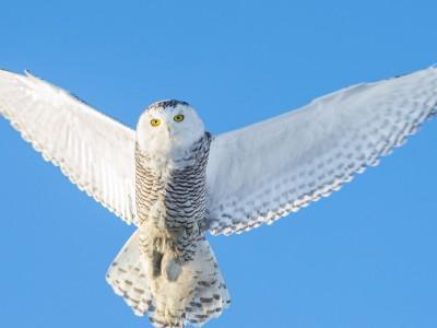 Белая (полярная) сова