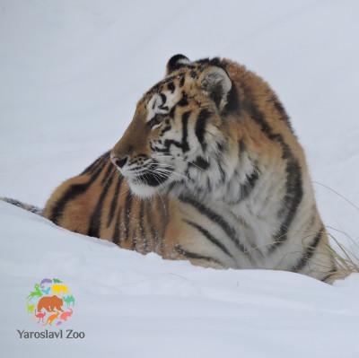 Новоселье амурской тигрицы Яшмы