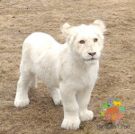 Белая львица Лавина радует посетителей!