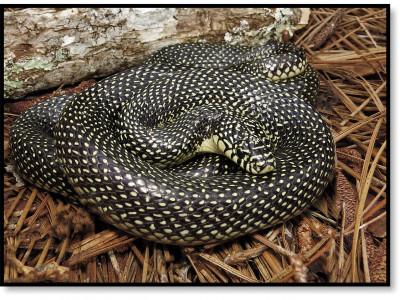 Королевская змея Хольбрука