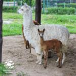 В Ярославском зоопарке пополнение – на свет появилась альпака!