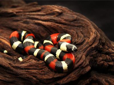 Королевская змея Кэмпбелла