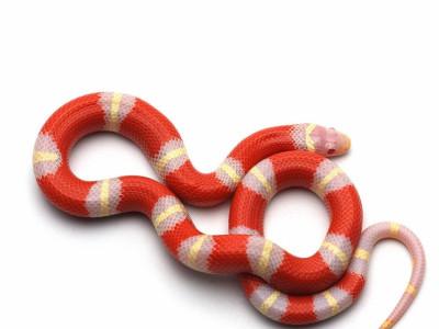 Молочная змея Нельсона