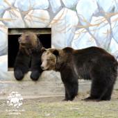 Бурые медведи Ума и Топа проснулись!