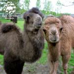 В гости к маленьким верблюдам!
