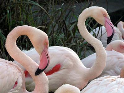 Фламинго обыкновенный